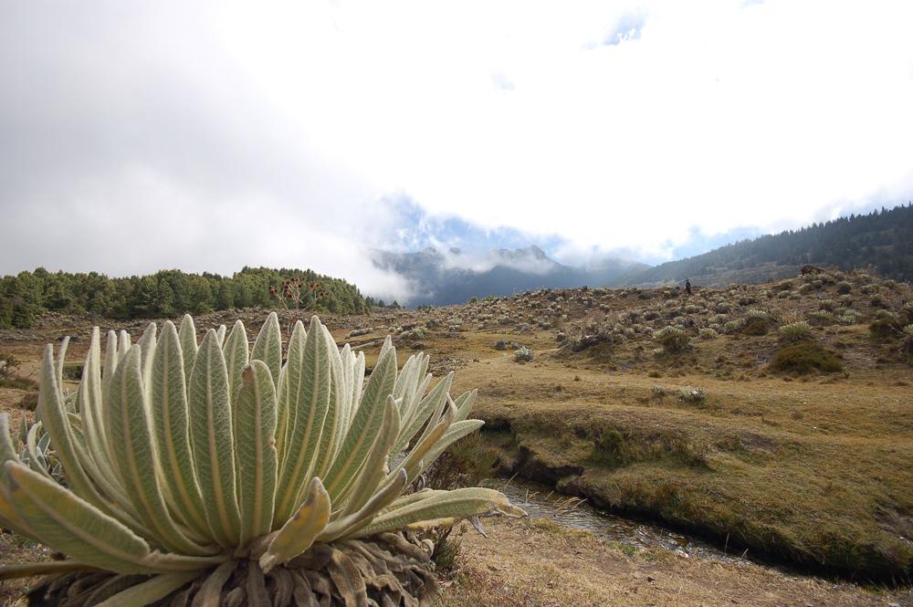 Frailejón an der Laguna Negra, Los Nevados, Venezuela
