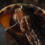 Pazifik-Streifen-Oktopus