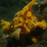 Froschfisch