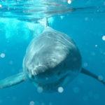 Paarung Weiße Haie